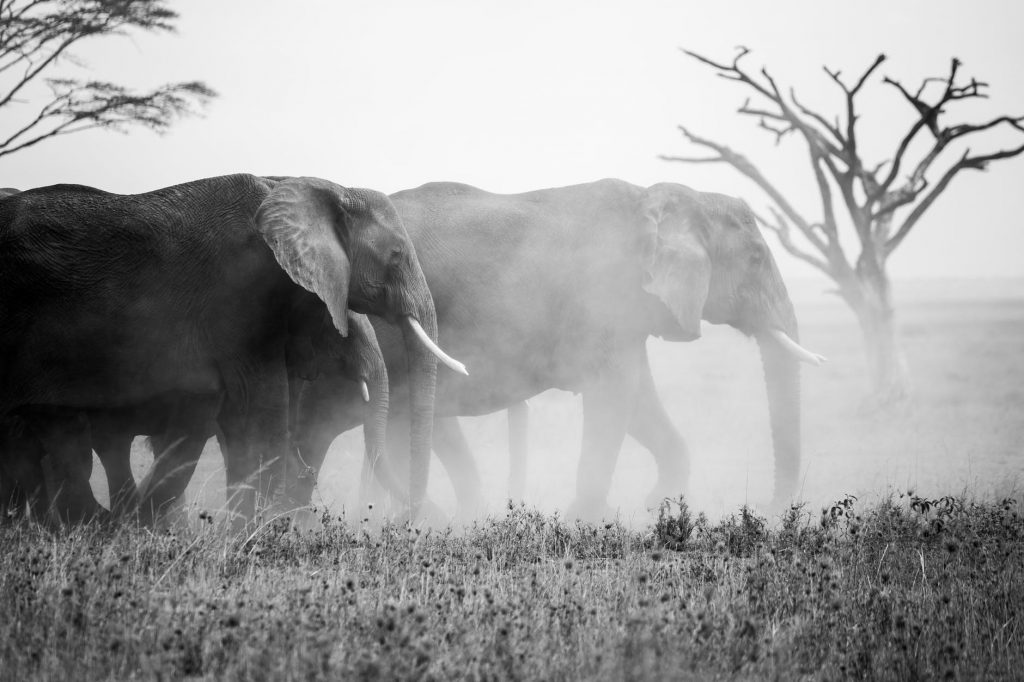 grayscale photo of elephant walking on grass field